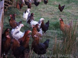 15-week-old-pullets-in-evening-light-dscf3994